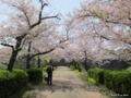 [九州][花][桜]福岡城潮見櫓に続く桜並木