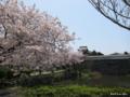 [九州][花][桜]福岡城址潮見櫓と桜 I