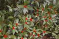 [東京][花]センリョウ @国立科学博物館付属自然教育園