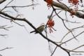 [東京][鳥][自然教育園]ツグミ @国立科学博物館付属自然教育園