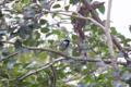 [東京][鳥]シジュウカラ @国立科学博物館付属自然教育園