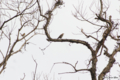 [東京][鳥]ツグミ @国立科学博物館付属自然教育園