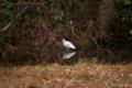 [東京][鳥]ダイサギ @国立科学博物館付属自然教育園