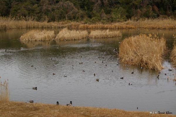 「カモだらけ」 @東京港野鳥公園 東淡水池