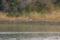 アオサギ @東京港野鳥公園