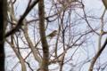 [東京][鳥]ツグミ @東京港野鳥公園
