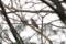 ヒヨドリ @東京港野鳥公園