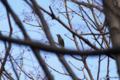 [東京][鳥]ヒヨドリ @東京港野鳥公園