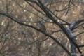 [東京][鳥][新宿御苑]ツグミ @新宿御苑