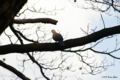[東京][鳥][新宿御苑]キジバト @新宿御苑