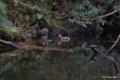 [東京][鳥][新宿御苑]オシドリ @新宿御苑