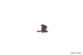 [東京][鳥][明治神宮]ノスリ @明治神宮