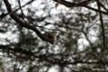 [東京][鳥][明治神宮]ゴジュウカラ @明治神宮