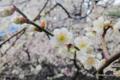 [花][梅][東京][湯島天神]梅 @湯島天神 女坂