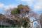 ソメイヨシノ @国立科学博物館付属自然教育園入口
