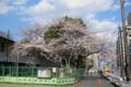 [東京][花][桜] 「春ノ嵐ニモ負ケズ」 @国立科学博物館付属自然教育園入口
