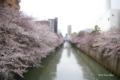 [東京][桜]目黒川 @田道橋