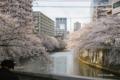 [東京][桜]目黒川