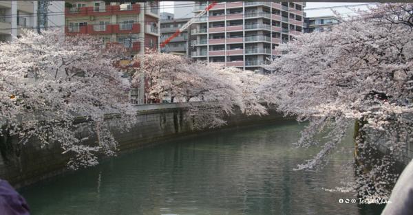 [東京][桜]