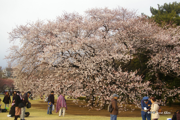 桜 @新宿御苑