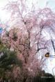 [東京][花][桜]枝垂れ桜 @明治神宮外苑