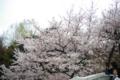 [東京][花][桜]桜 @信濃町駅前