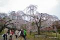 [東京][花][桜]枝垂れ桜 @小石川後楽園