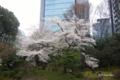 [東京][花][桜]