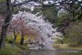 [東京][花][桜]桜 @小石川後楽園