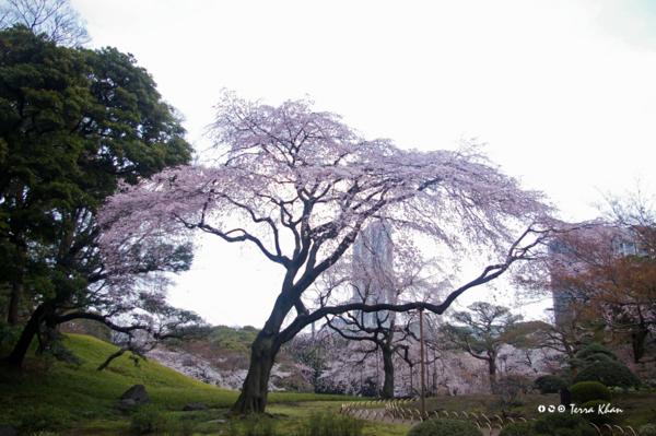 桜 @小石川後楽園