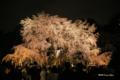 [東京][花][桜]六義園の夜桜 II