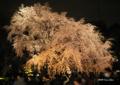 [東京][花][桜]六義園の夜桜 III