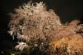 [東京][花][桜]六義園の夜桜 IV