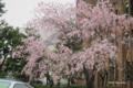 [東京][花][桜]枝垂れ桜 @東京大学医科学研究所