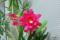 サボテンの花(品種不明) @実家