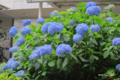 [東京][花]紫陽花