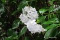 [東京][花]純白の紫陽花