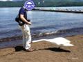 [富士五湖][山中湖][鳥]「白鳥にどつかれた男」