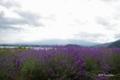 [河口湖][花][富士山]大石公園(@河口湖北岸)のラヴェンダー畑と雲隠れの富士山