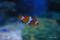 クマノミ @おたる水族館