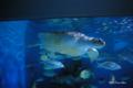 [北海道][小樽][おたる水族館][水族館]保護されたアオウミガメ @おたる水族館