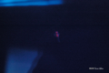 [北海道][小樽][おたる水族館][水族館]クリオネ @おたる水族館