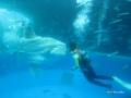 [横浜][八景島シーパラダイス][水族館][魚]「ドルフィン ファンタジー」 餌めがけて泳ぐマンボウ