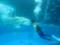 「ドルフィン ファンタジー」 餌めがけて泳ぐマンボウ
