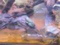 [横浜][八景島シーパラダイス][水族館]モリアオガエル @八景島シーパラダイス