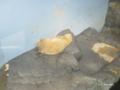 [横浜][八景島シーパラダイス][水族館]お昼寝中のホッキョクグマ @八景島シーパラダイス