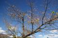 [岩手県][遠野][桜][花]季節外れの桜