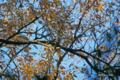 [自然教育園][鳥]ヒヨドリ @国立科学博物館付属自然教育園