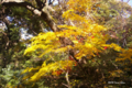 [自然教育園][紅葉]黄葉 @国立科学博物館付属自然教育園