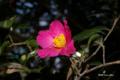 [自然教育園][花]サザンカ @国立科学博物館付属自然教育園